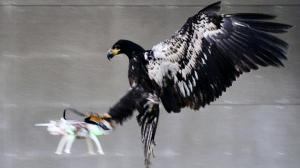 L'aigle attaque le drone en l'attrapant par l'arrière