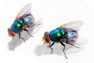 Les mouches bleues ont mis en evidence avec précision les changements du microbiote après la mort