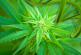 L'ADN du cannabis permet d'en connaître la provenance