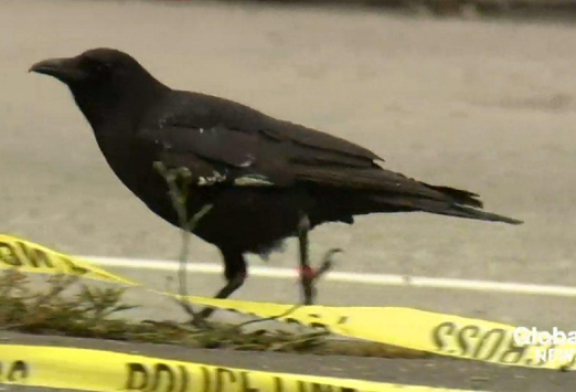 Le corbeau vole une arme sur une scène de crime