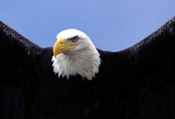 Des aigles dressés à chasser les drones